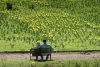 California's Daffodil Hill Closes as a Result of Overtourism